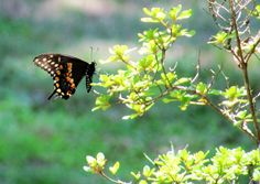 Butterfly Bugs, Butterflies, Insects, My Photos, Animals, Animales, Animaux, Beetles, Butterfly