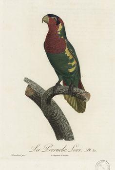 La Perruche Lori. Pl. 52. Gravure sur cuivre. Par Bouquet, d'après Barraband. Extrait de l'Histoire naturelle des perroquets, par François Levaillant, Paris, 1801. http://www.babordnum.fr/viewer/show/532#page/n219/mode/1up