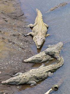 American Crocodiles (Crocodylus acutus), some 2m - 3m long, in the Rio Tarcoles River, Costa Rica.