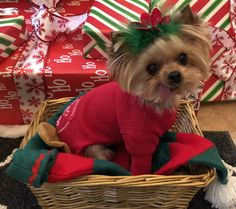 Santa's Little Helper Onesie! Merry Christmas Yorkie  Zoe under the tree.