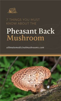 If you want to explore more about new mushroom varieties, check out the pheasant back mushroom. Also known as dryad's saddle, this variety is also great if you're foraging and cooking recipes with mushrooms in it. To know more about it, look up these 7 things you must know about pheasant back mushroom. | Discover more about medicinal mushrooms at ultimatemedicinalmushrooms.com #growingmushroomsforprofit #growingmushrooms #medicinalmushroom Mushroom Stock, Mushroom Hunting, Dryad's Saddle, Health Benefits Of Mushrooms, Mushroom Varieties, Growing Mushrooms, Mushroom Recipes, Pheasant, Need To Know