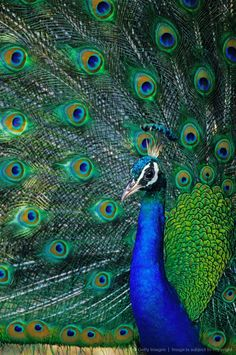 Peacock (Pavo cristatus) displaying tail feathers, close-up