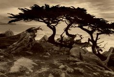 Artists of the Weston Gallery Monterey Cypress, Photography Services, Fine Art Photography, Writing Images, Cypress Trees, Contemporary Photographers, Tree Forest, Contemporary Landscape, Artist