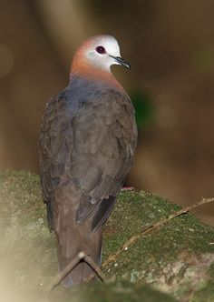 The Lemon Dove or Cinnamon Dove (Columba larvata) is a bird species in the pigeon family (Columbidae). It differs from the other African pigeons of the genus Columba by its terrestrial habits and the white face and forehead of adult males. The Lemon Dove is distributed in montane forests of Africa, ranging for example from some 100 meters to 3,000 meters ASL in eastern Africa.