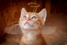 Ginger tabby cats are truly special--and if you ask me, downright magical--cats. Some of the most memorable cats in Showbiz today are ginger tabbies, and countless people all across the globe… Cute Kittens, Gato Gif, Video Chat, Photo Chat, Dog Rules, Domestic Cat, Baby Cats, Cat Breeds, Kitty Cats