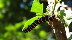 Lagarta, Transformação, Metamorfose, Desafio, Natureza