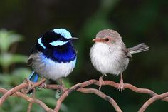 Little Blue Fairy Wren
