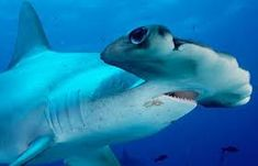 The 9th Largest Shark: Great hammerhead shark (Sphyrna mokarran) 20.01 feet via @Discovery Channel Channel @Amanda Mason Week