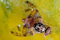 #DatoCurioso Cuatro de las #Plagas más destructivas de la agricultura mundial: #Mosca oriental, mosca de Filipinas, mosca invasora y mosca de la papaya asiática, pertenecen a una misma especie de mosca de la fruta, la Bactrocera dorsalis.