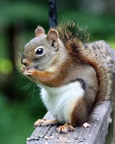 Red squirrel, saw one in Cleveland metroparks last week