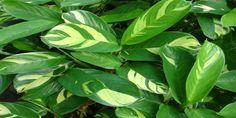 Araruta: conheça a planta que pode trazer vários benefícios para saúde, corpo e ainda ser uma opção na cozinha