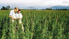 New Zealand: Third Generation Dairy Farmers Turn To Hemp  Forget about white gold and our massive dairy industry, green gold could be the new king of the crop. As… [Read More]  #IndustrialHempNews