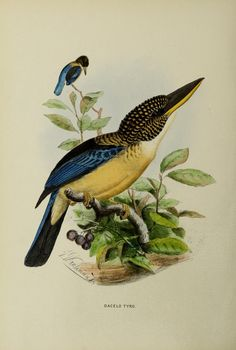 A monograph of the Alcedinidae :. London :Published by the author,1868-71.. biodiversitylibrary.org/page/43064986