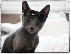 mokona kitten russian blue