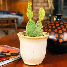 Bunny-Ear Cactus (Opuntia microdasys) In bright situations, the cactus often produces lemon-yellow flowers in spring Flower Bookey, Flower Film, Cactus Flower, Cactus Plants, Flower Pots, Cacti, Flowering Succulents, Planting Flowers, Yellow Plants