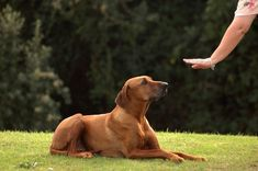 Most Important Dog Training Skills. Learn all about training your pet, including puppy training, dog obedience training and cat training and behavior. Dog Clicker Training, Best Dog Training, Training Tips, Training Online, Safety Training, Brain Training, Training Programs, Professional Dog Training, Deaf Dog