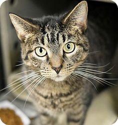 Philadelphia, PA - Domestic Shorthair. Meet LIZA, a cat for adoption. http://www.adoptapet.com/pet/14154150-philadelphia-pennsylvania-cat