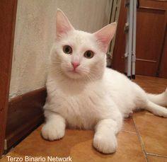 LASTRA A SIGNA (FI): SMARRITO THIAGO, GATTO BIANCO http://www.terzobinarionetwork.com/2015/12/lastra-signa-fi-smarrito-thiago-gatto.html