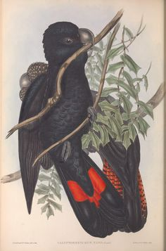 (1848) - The birds of Australia. - Biodiversity Heritage Library
