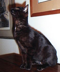 Awesome page on color genetics in Bengals. Pictured is a melanistic Bengal