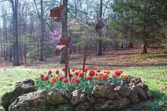 Tulips and Redbud trees in bloom in April