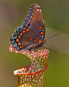Red-spotted Purple by Jim Petranka on Flickr. / Cores, belas cores a enfeitar vida tão breve...