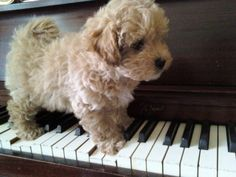 Osi my Maltipoo puppy on a piano