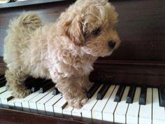 Osi my Maltipoo puppy on a piano