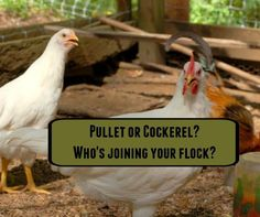 Pullet or cockerel? Who's joining your flock?