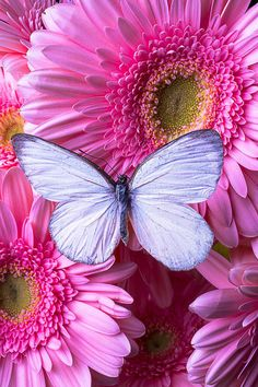 Flowers That Attract Butterflies, Beautiful Butterflies, Beautiful Flowers, Beautiful Life, Rose Fushia, Pink Flowers, Gerbera Daisies, Pink Daisy, Butterfly Wallpaper
