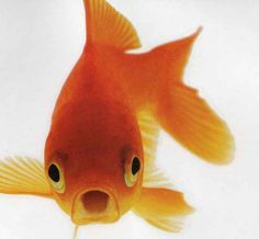 my sister has a goldfish and it swims around in its little bowl on the table  but this goldfish looks a little scary
