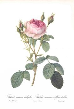 Sparkling Rose (Rosa muscosa multiplex), Roses, Pierre-Joseph Redoute (England, 1954) botanical print