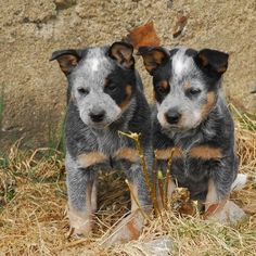 These two Blue Heeler puppies are a mirror image of one another.  Check the eye markings.