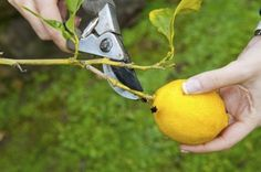 Lemon Tree Pruning: When Is The Best Time To Prune Lemon Trees - Like other fruiting trees, cutting back lemon trees will foster healthier fruit. The question is, how to prune a lemon tree and when is the best time to prune lemon trees? The information in this article should help with that.