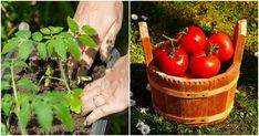 Nový způsob výsadby rajčat je revolucí. Čtyři rostlinky v jedné jamce jsou pojistkou velké úrody. Plody budete sbírat po kbelících Picnic, Basket, Vegetables, Outdoor, Food, Compost, Outdoors, Essen, Picnics