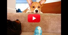 Human Is Determined To Teach Her Pup How To Go Down The Stairs…With No Success Other Than Extreme Puppy Cuteness!   The Animal Rescue Site Blog