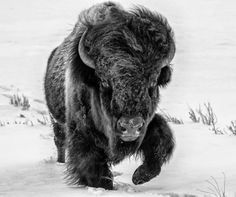 Bison in the Snow Buffalo Animal, Buffalo Art, Buffalo Painting, Bison Tattoo, Buffalo Pictures, Animals And Pets, Cute Animals, Nature Animals, Wild Animals