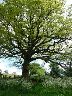 Oak Tree. I want to go to the English countryside...pout. (Weston Under Wetherley, England)