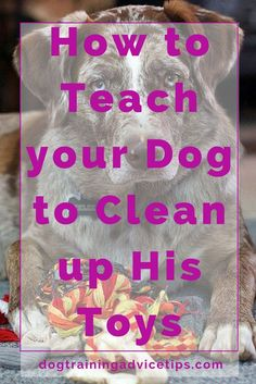 How to Teach your Dog to Clean up His Toys | Dog Training Tips | Dog Obedience Training | Dog Training Ideas | http://www.dogtrainingadvicetips.com/teach-dog-clean-toys
