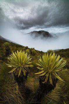 Frailejon trees above the cloud forests of Colombia. Beach Photography, Landscape Photography, Nature Photography, Photography Tips, Travel Photography, South America Destinations, South America Travel, Camera Techniques, Above The Clouds