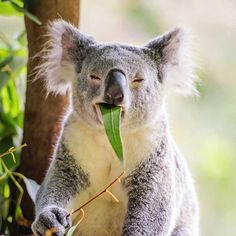 On Sunday mornings a eucalyptus leaf just isn't enough, bring on the coffee we say! - @laurenepbath at @AustraliaZoo