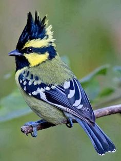 Himalayan Black-Lored Tit. Photo by: National Geographic