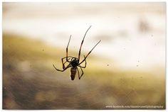 Nephila Spider in Zanzibar  All Images © Daniel Russell Photography www.facebook.com/danielrussellphotography Spider, Facebook, Photography, Animals, Image, Spiders, Photograph, Animales, Animaux