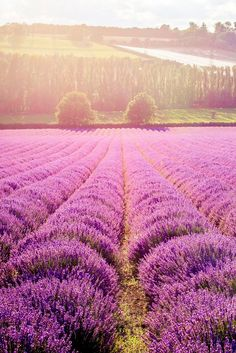 The sun sets over the lavender fields of The Hop Shop in Kent, southern England - where the flowers are in bloom throughout July. Photo by Thomas Alexander. #kent #england #lavender
