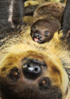 A two-month-old sloth rests on the stomach of its mother Charlotte at the zoo in Halle,  Germany