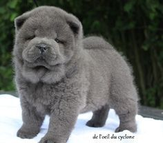 chow chow blue - Google Search