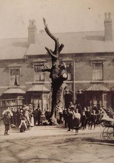 This is the oak after which Selly Oak was named. It was felled in 1909 as the pic shows and was located at the junction of Bristol road and oak tree lane.