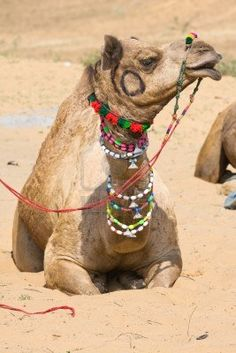 Camel At The Pushkar Fair, Rajasthan, India Royalty Free Stock Photo, Pictures, Images And Stock Photography. Image 16437567.