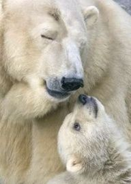 pictures of polar bears don't make me smile as i am all to aware that their time here with us is growing increasingly fleeting, and so the pictures make me want to weep  Polar Bear Mama & Her Baby