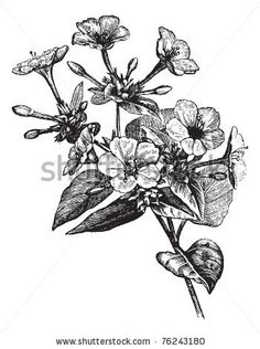 Four o' Clock Flower or Marvel of Peru or Mirabilis jalapa, vintage engraving. Old engraved illustration of a Four o' Clock Flower plant.